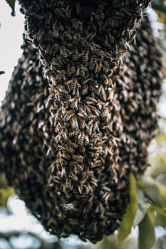 Bienenschwarm-8254