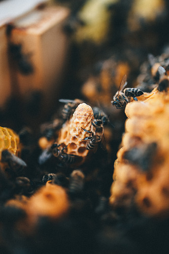 Bienenschwarm-8337