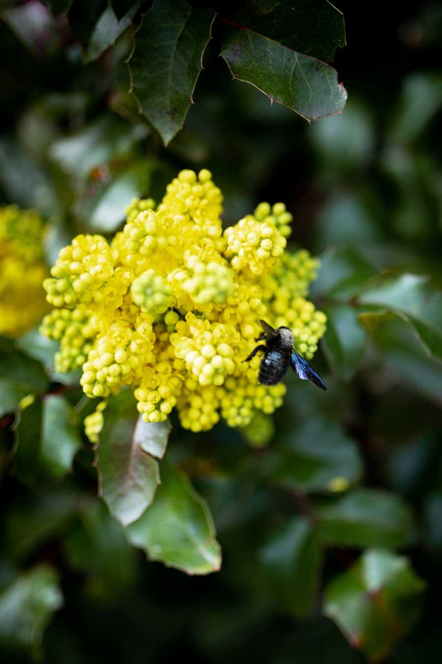 wildbienen-blaue-holzbiene-gehoernte-mauerbiene-hinigbiene1