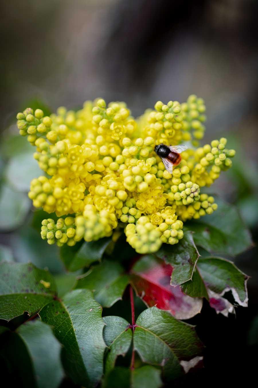 mauerbiene-mahonie1